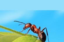 चींटी के दांतों ने बताया, छोटी और ज्यादा कारगर कैसे होगी भविष्य की तकनीक