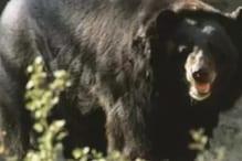 VIDEO: भालू को पकड़ने गई टीम को पड़े जान के लाले, जानवर से बचने को मारी गोली