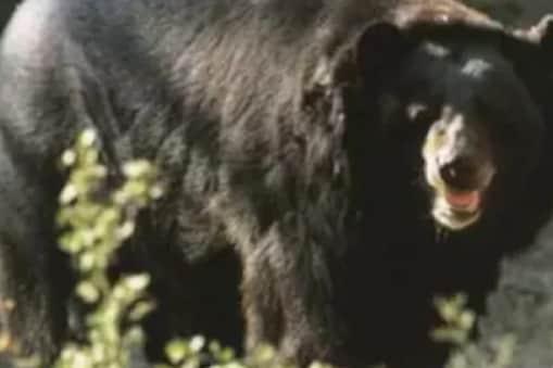 उत्तराखंड के चमोली में दहशत फैलाने वाले भालू को गोली मारी गई. (File Photo)