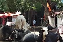 Kanpur: मृत गायों को छुपाने के मामले में गोशाला के दो अधिकारी तत्काल सस्पेंड