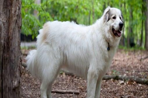 मिशेल पार्कर (Michelle Parker) ने अपने Pet Dogs के फर से अपने लिए स्कार्फ बनवाया है. (सांकेतिक तस्वीर)