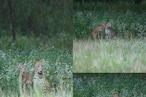 PHOTOS: नीलगाय के बच्चे के साथ खेलने लगा तेंदुआ, फिर अचानक कर दिया हमला