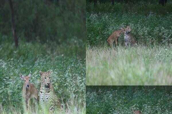 PHOTOS: नीलगाय के बच्चे के साथ खेलने लगा तेंदुआ, फिर अचानक किया हमला
