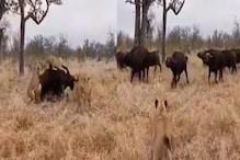Viral Video: शेरों के झुंड में फंसा था जंगली भैंसा, फिर यूं पलटी बाज़ी