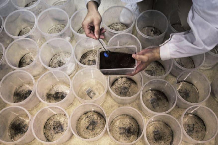 फैक्ट्री में पैदा हुए सभी मच्छर नर होते हैं.लैब में इन मच्छरों के जीन में बदलाव कर दिया जाता है चीन का ये प्रोजेक्ट इतना सफल रहा है कि ब्राजील में भी चीन ऐसी ही फैक्ट्री खोलने जा रहा है.