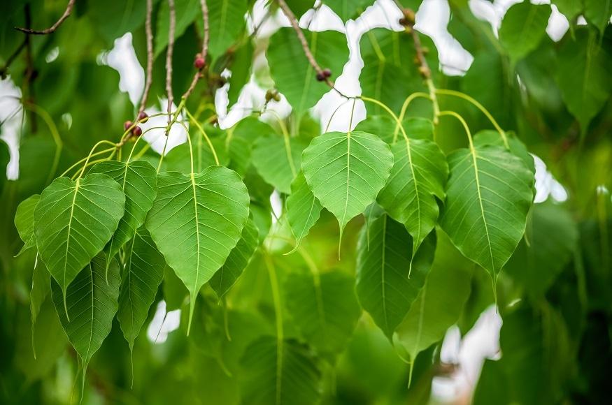 पीपल के पेड़ की वैसे तो पूजा की जाती है लेकिन वास्तुशास्त्र के अनुसार अगर पीपल का पेड़ घर में हो तो ये अशुभ माना जाता है. ऐसी मान्यता है कि इससे घर में धन की हानि होती है. पैसा नहीं रुकता है. (Image- Shutterstock)