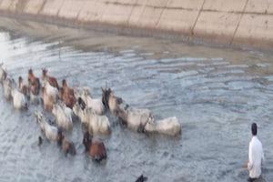 Photos :  Animals Cruelty - REWA में मवेशियों को बहती नहर में धकेला, 2 तक पानी में भूखे फंसे रहे बेज़ुबान