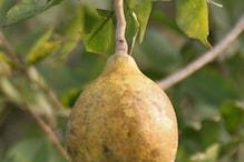 देश का वो फल, जो खाने के काम आता है और कपड़ा धोने के भी