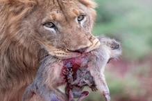 शेर के मुंह में दबी थी बंदरिया की लाश, मां की लाश से चिपका रहा लाचार बच्चा
