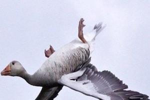 आसमान में उल्टा उड़ता दिखा हंस, झूठी नहीं, बिलकुल सच निकली तस्वीर!