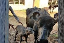 गुजरात में आईवीएफ तकनीक से भैंसों की बन्नी प्रजाति के पहले बच्चे का जन्म