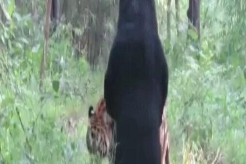 भालू और बाघ का ये वीडियो सैलानियों ने शूट किया है.