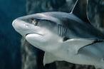 Amazing : हम Google Map पर ढूंढते हैं रास्ता, शार्क के पास होता है खुद का GPS सिस्टम !