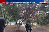 Watch: The Splendor of Cherry Blossoms in China