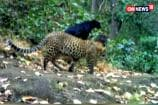 Watch: Rare Black Panther Sighting