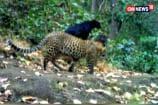 Watch: Rare Black Panther Sighting