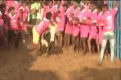 Watch : Traditional Bull-Taming Event 'Jallikattu' Begins in Madurai
