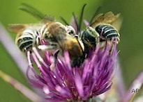 Trained bees can sniff bombs: scientists