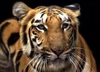 Raj HC in aid of tiger protection