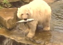 Knut put on a diet to shed baby fat and get fit