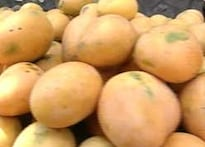 Eat this: Raj's party says buy mangoes from Marathis