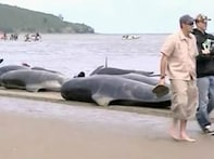 63 Pilot whales stranded on NZ beach