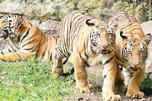 Tiger tourism ban: Centre proposes rethink