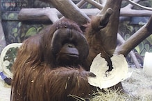 Clairvoyant Utah ape who predicted the Seattle Seahawks win is right seven years in a row!