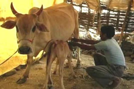 69-year-old priest contests elections to stop cow slaughter