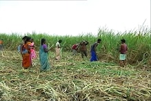 Drought Drives Farmers' Exodus From Marathwada to Tamil Nadu
