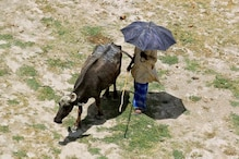 When Calves Helped Police to Nab Thieves in Madhya Pradesh