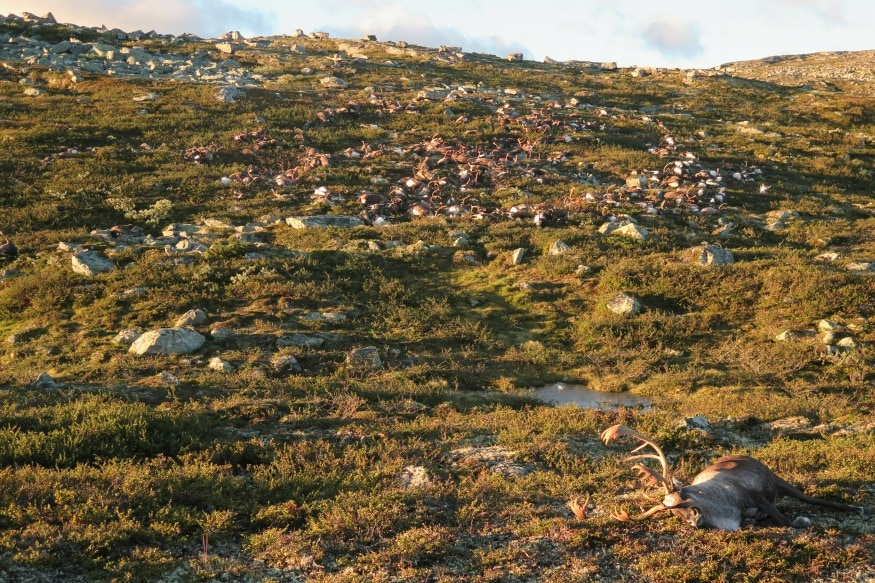 (Photo: AP/In this image made available by the Norwegian Environment Agency on Monday Aug. 29 2016, shows some of the more than 300 wild reindeer that were killed by lightning in Hardangervidda, central Norway on Friday.)