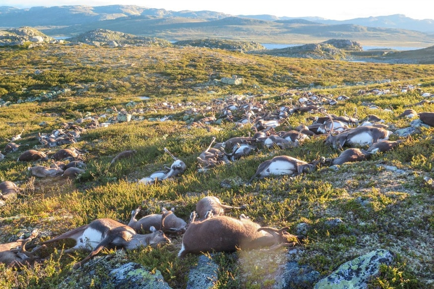 (Photo: Reuters/Dead wild reindeer are seen on Hardangervidda in Norway, after lightning struck the central mountain plateau and killed more than 300 of them.)
