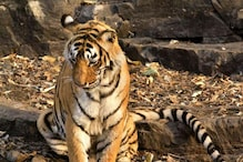 Tigress Found Dead at Kanha Tiger Reserve in MP, 11th in 2018