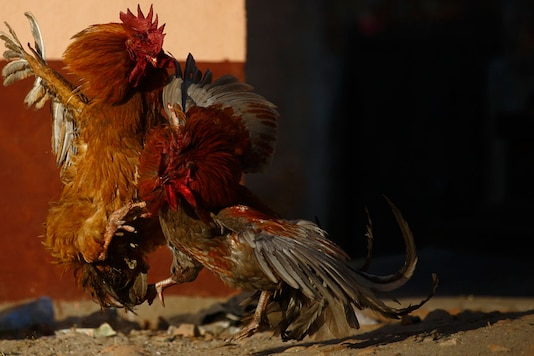 A file image of roosters in action (Reuters)