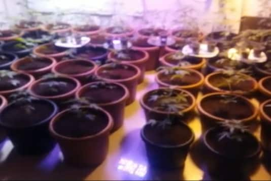 A TV grab of the pots of cannabis inside the 3-BHK flat in Hyderabad