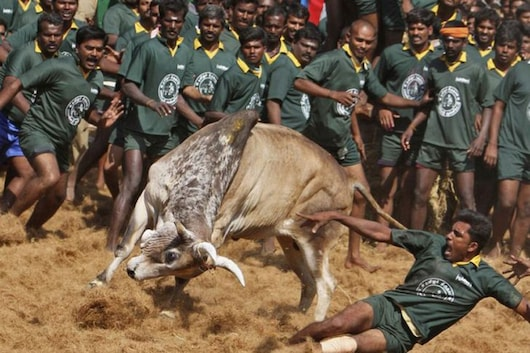 A villager is pinned down by a bull during a bull-taming festival on the outskirts of Madurai town, about 500 km (310 miles) from Chennai. The annual festival is part of south India's harvest festival of Pongal. (Image: Reuters)