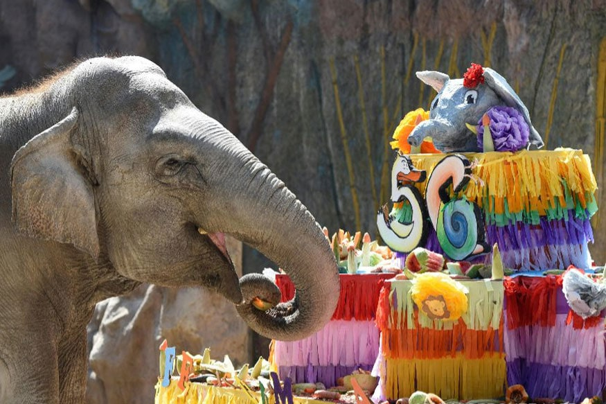 The elephant Trompita enjoys a piece of birthday cake made of vegetables and fruit during her 56th birthday celebration at the Aurora zoo in Guatemala City (AFP)