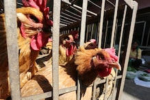 Bird Flu Outbreak Reported in 2 Poultry Farms in Kerala; Culling of Ducks, Hens Ordered