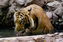 Tiger Population in India Increases, But Figures for Chhattisgarh and Odisha are Worrying