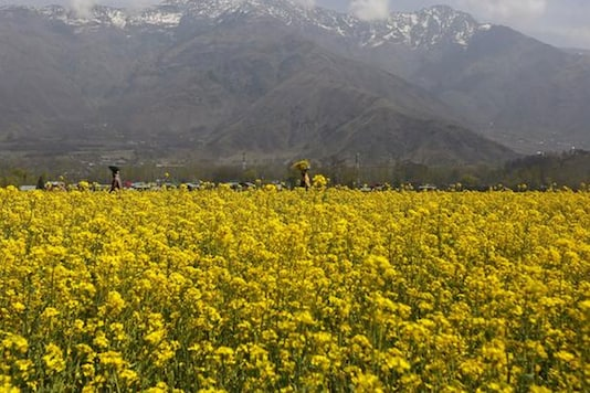 The government had said it was yet to take a policy decision on the commercial release of GM mustard crop and has been considering suggestions and objections on the issue.  (Photo: Reuters)