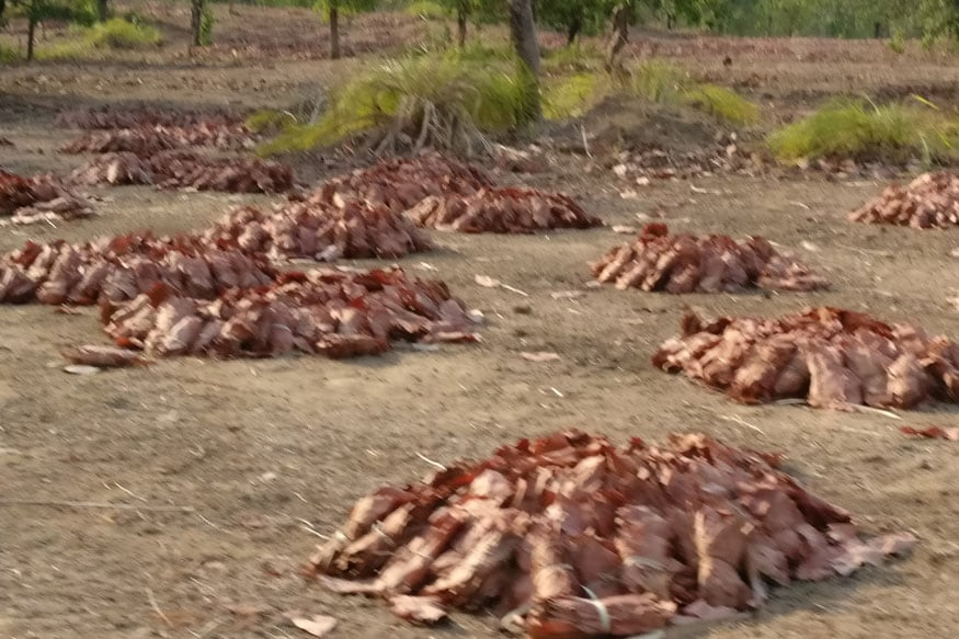 Tendu Patta leaves set out to dry in Chinabattum village in Bastar (Photo: Suhas Munshi, News18)