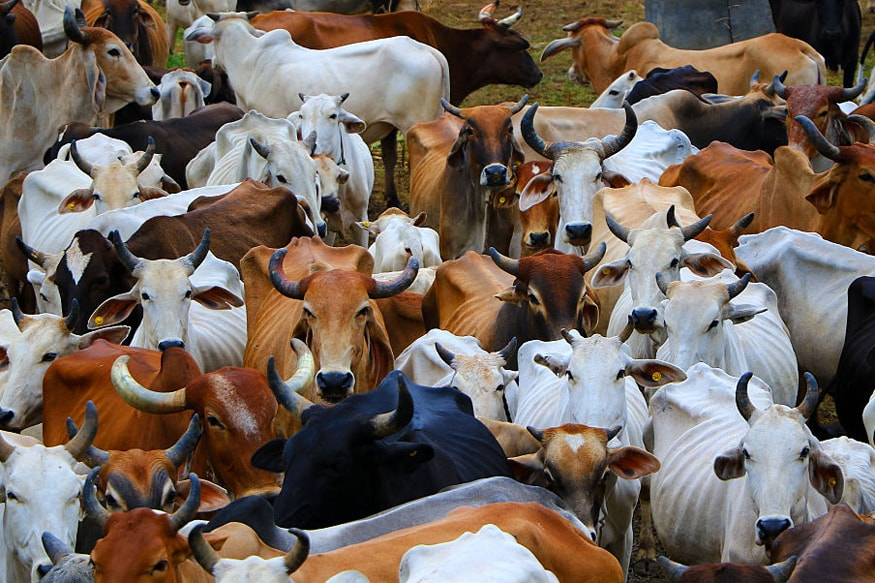 Qurbani' of Cow, Buffalo, Camel, Ox in UP to Invite