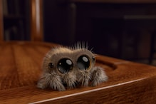 Meet Lucas, The Cutest Spider In The World And The Perfect Cure For Your Arachnophobia