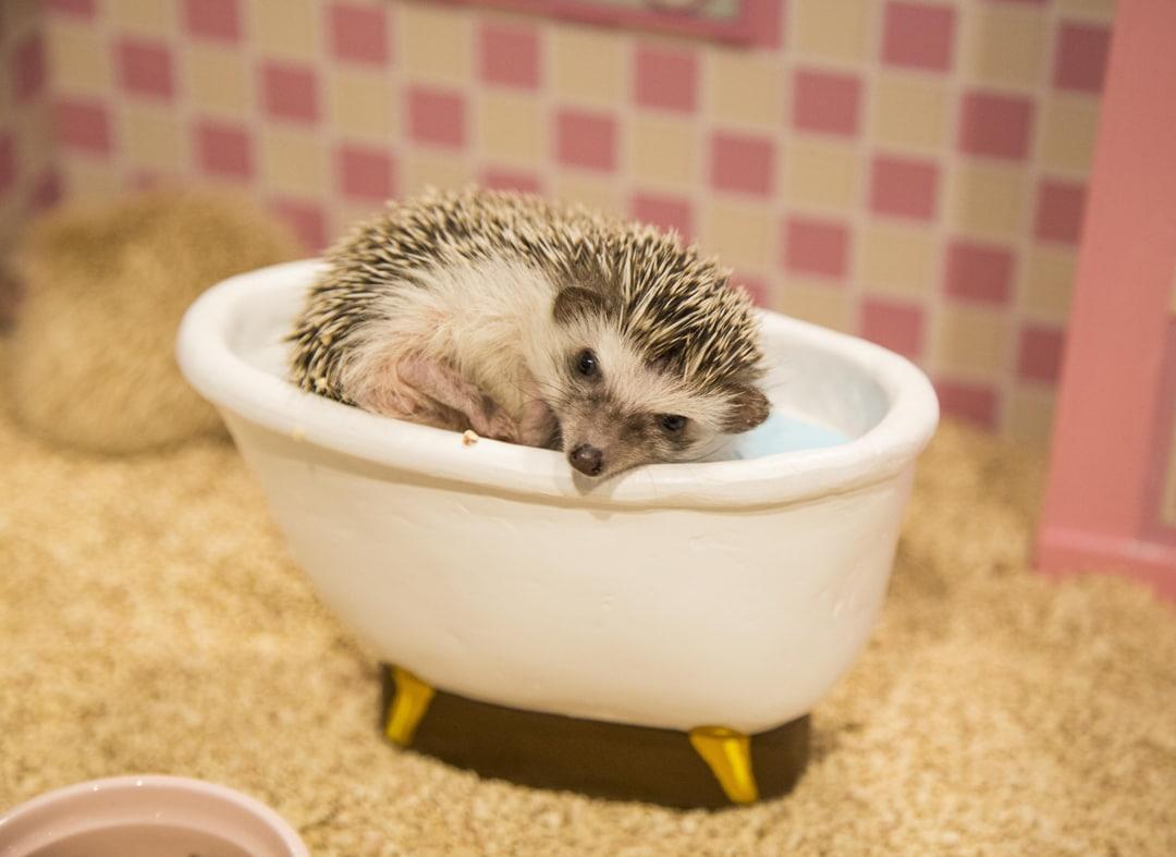 hedgehog.abcfc115254.original