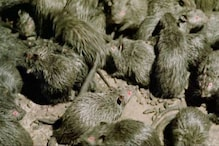 Hantavirus Kills Man in China; Here's What You Should Know About This Disease