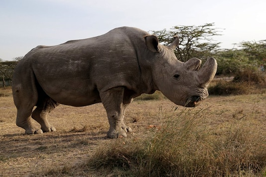 File photo of the last male northern white rhino named 'Sudan', seen at the Ol Pejeta Conservancy in Laikipia, Kenya. (Reuters)