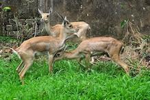 Six Black Bucks Found Dead in Sayaji Baug Zoo in Vadodara