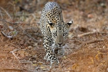Leopard Bludgeoned to Death in Assam, Forest Officials and Police Fail to Control Mob