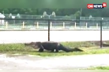 Watch: There's a Croc on The Loose
